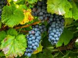 Vinho Verde Tinto