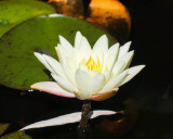 Last Lotus