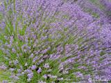 Splendid Lavender
