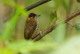 Ochre-collared Piculet (Picumnus temminckii)
