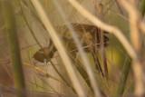 foraging female
