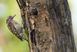 Brown-capped Pygmy Woodpecker (Yungipicus nanus)