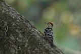 Fulvous-breasted Woodpecker (Dendrocopos macei)