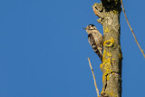 Lesser Spotted Woodpecker Picoides minor