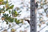 White-fronted Woodpecker Melanerpes cactorum