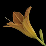 Day Lily On Black