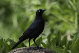 Brewer's Black Bird