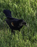 Male Red Winged Black Bird
