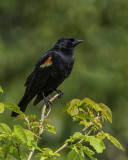 Red Winged Blackbird - Lookout