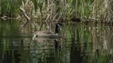 Sunlit Canada Goose
