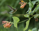 Hummingbird At The Vine Again