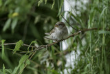 Fledgling Sparrow