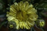 Leucanthemum aka Real Sunbeam