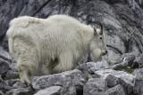 Female Rocky Mountain Goat