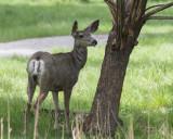 Immature Mule Deer
