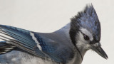 Blue Jays Project - Portrait VI