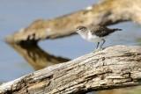 Chevalier Guignette - Common Sandpiper - Actitis hypoleucos