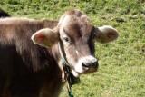 Close up of calf