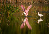 Ibises, Grebes and Spoonbills