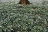 Common snowdrop (Galanthus nivalis)