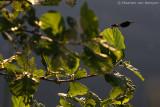 Banded demoiselle(Calopteryx splendens)