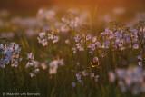 Bumblebee spec.
