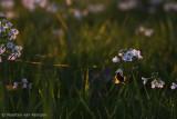 Bumblebee spec. (Bombus spec)
