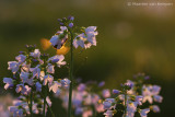 Bumblebee spec. (Bombus spec.)