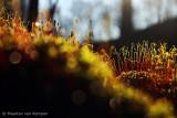 Haircap moss spec. (Polytrichum spec.)