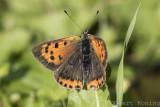 Lycaenidae/Blauwtjes