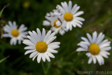 Daisy/Margriet