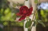 A 2017 red rose