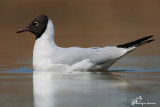 Gabbiano comune, Black-headed gull