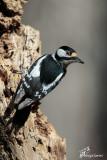Picchio rosso maggiore ,Great spotted woodpecker
