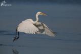 Airone bianco maggiore , Great egret
