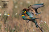 Gruccioni, Bee-eaters