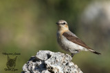 Culbianco , Northern wheatear