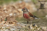 Fanello, Common linnet