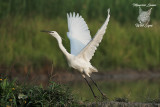 Garzetta, Little egret