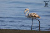 Giovane fenicottero ,Young greater flamingo