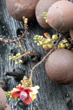 Lecythidaceae Tree