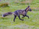 Fox Trot_MG_1160.jpg