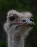 Ostrich_MG_7316.jpg