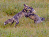 Two Young Playfull Silver Foxes_MG_1745.jpg