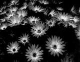 Daisies_MG_5463.jpg