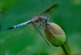 Dragonfly Loves Lotus_DSCF0206.jpg