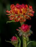 Strawflower_DSCF9861.jpg