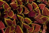 Fancy Leaves 2 DSCF9867.jpg