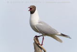 Black-headed Gull (Gabbiano comune)