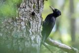 Black Woodpecker (Picchio nero)